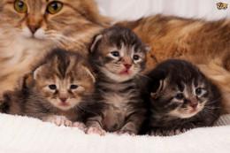 Doğum sonrası anne kedilerin davranışları