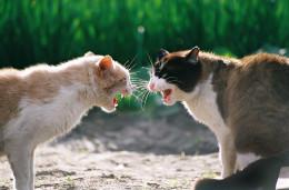Kedi kavgası nasıl ayrılır?